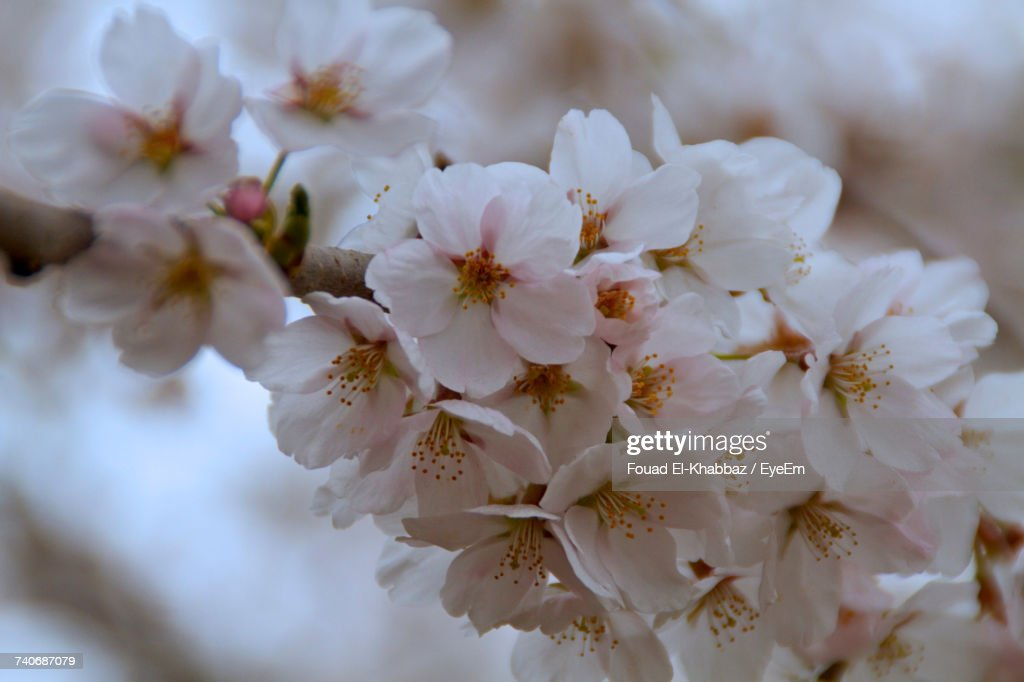 Close-Up Of White Flowers On Tree : Stock Photo