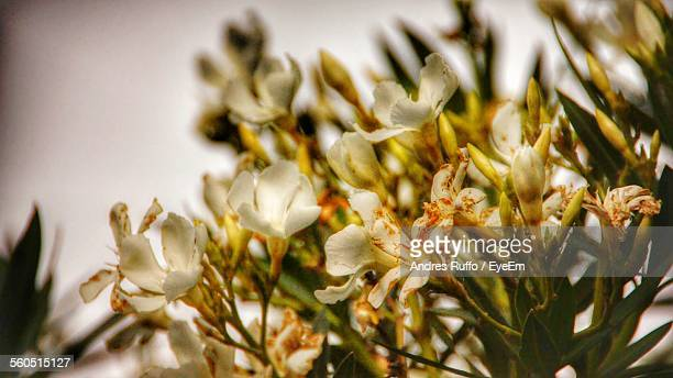 close-up of white flowers - andres ruffo stock-fotos und bilder
