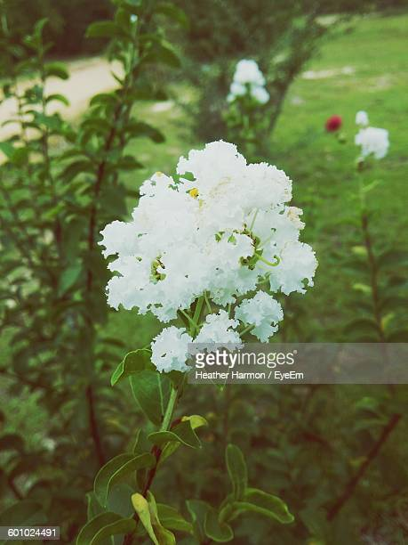 close-up of white flowers - heather harmon stock pictures, royalty-free photos & images