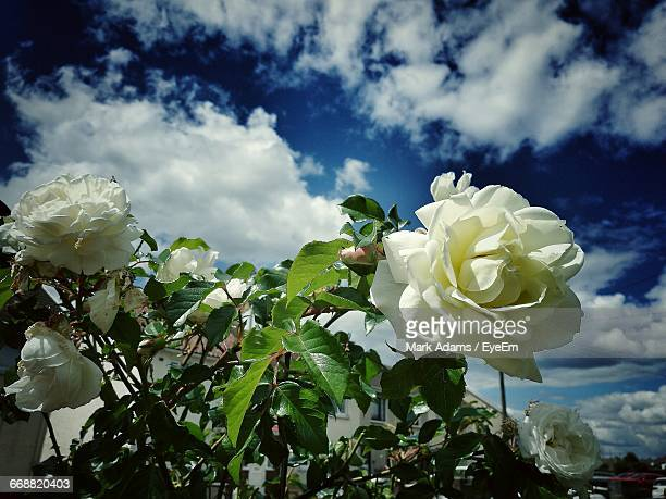 close-up of white flowers - port talbot stock pictures, royalty-free photos & images
