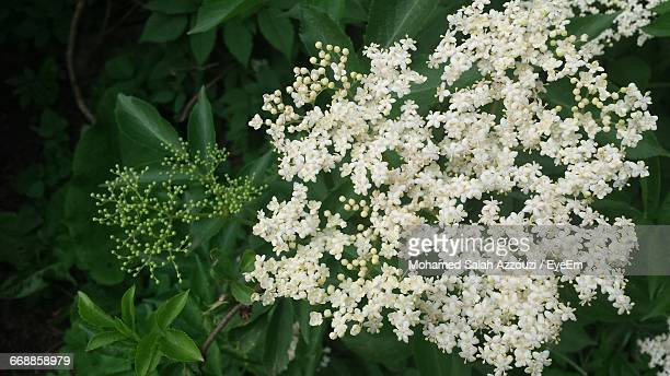close-up of white flowers - salah stock photos and pictures