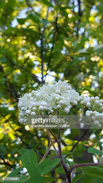 close-up of white flowers - vaxjo stock pictures, royalty-free photos & images