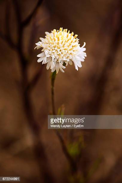 close-up of white flowers - san bernardino california stock pictures, royalty-free photos & images