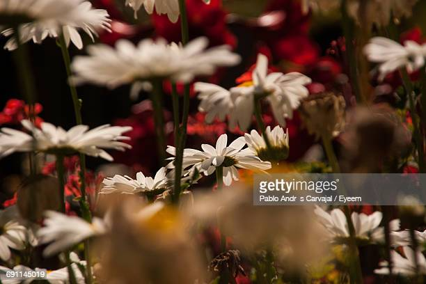 close-up of white flowers - carvajal stock photos and pictures