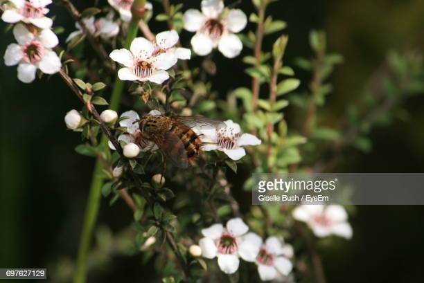 close-up of white flowers - manuka stock photos and pictures