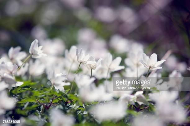 close-up of white flowers - paulien tabak stock pictures, royalty-free photos & images