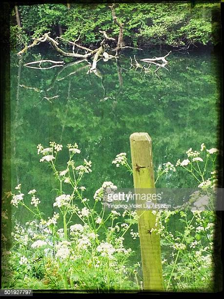 close-up of white flowers with reflection of trees in water - liu he stock pictures, royalty-free photos & images