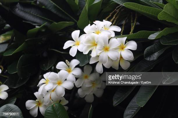 Close-Up Of White Frangipani Blooming Outdoors