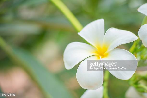 Close-Up Of White Frangipani Flower Blooming Outdoors