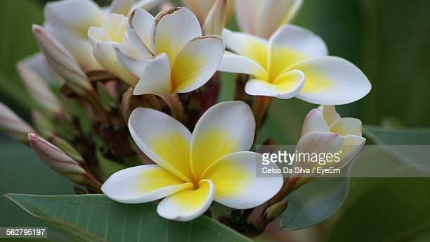 Close-Up Of White Frangipani Flowers