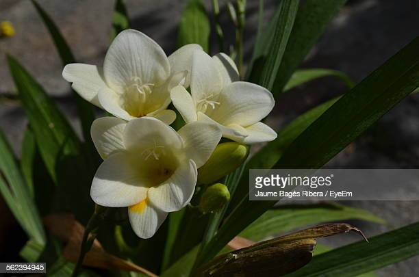 Close-Up Of White Freesia Flowers In Pot