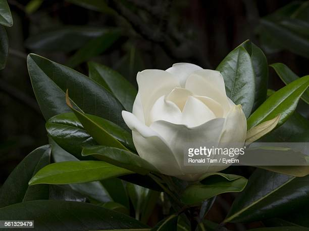 Close-Up Of White Gardenia Blooming In Park