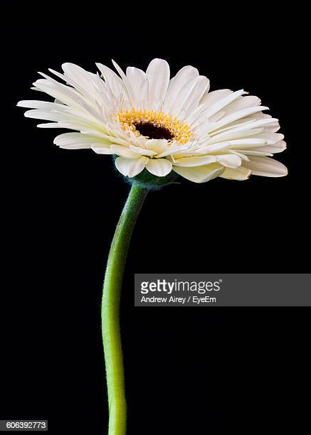 close-up of white gerbera daisy blooming against black background - daisy stock pictures, royalty-free photos & images