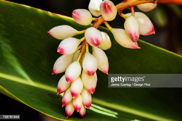 Close-up of white ginger flower Alpinia