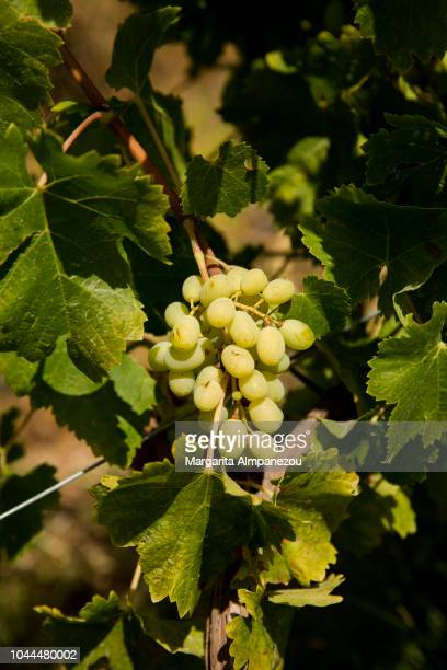 Close-up of white grapes in the sun