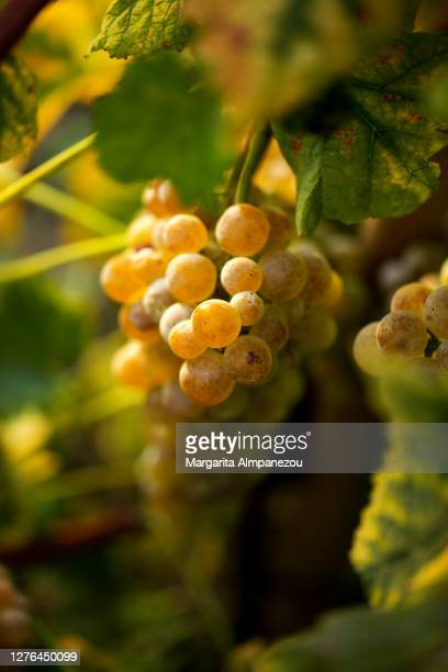 close-up of white grapes in vine side lit by the sun - vaud canton stock pictures, royalty-free photos & images