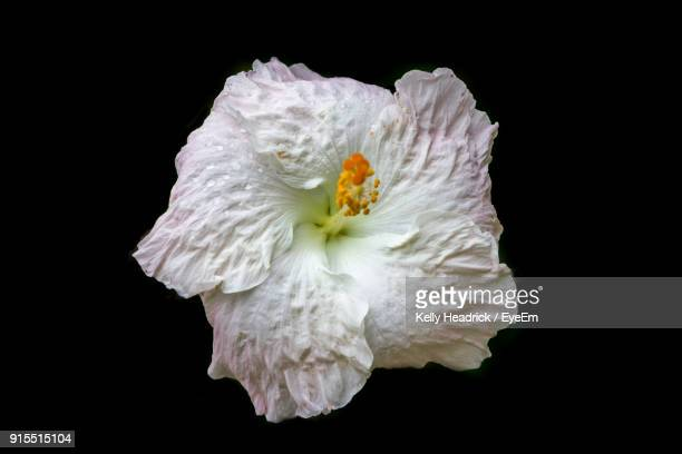 Close-Up Of White Hibiscus Against Black Background