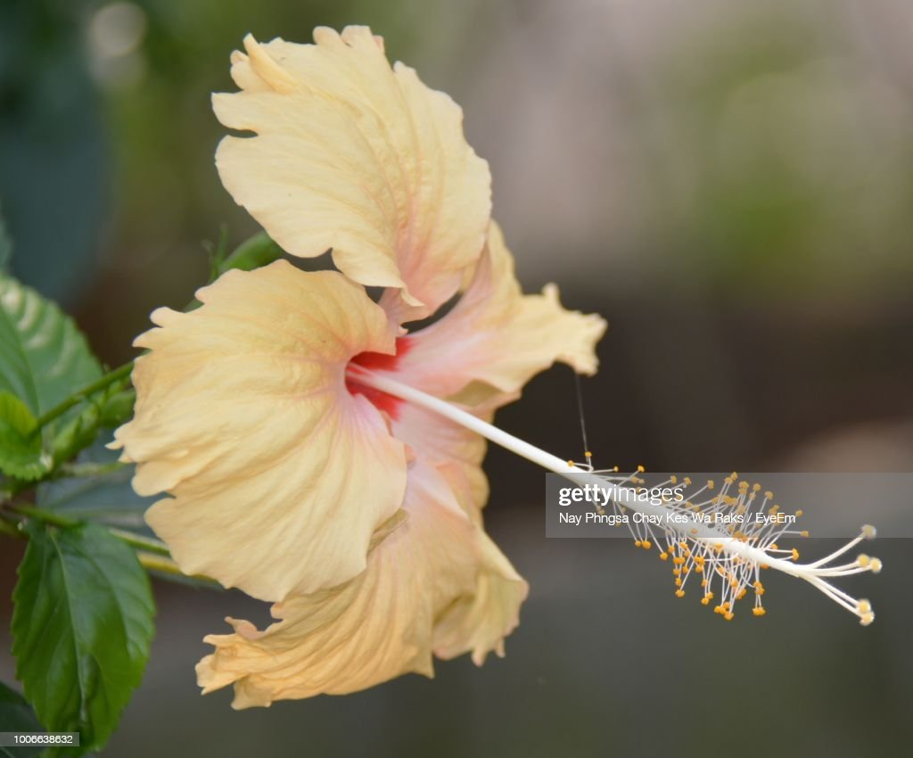 Closeup Of White Hibiscus Flower Stock Photo Getty Images