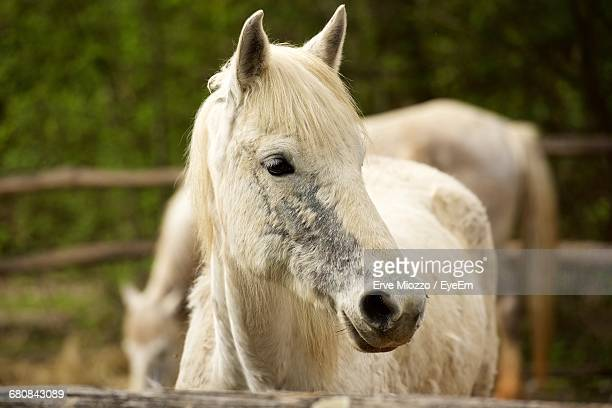 Close-Up Of White Horse At Farm