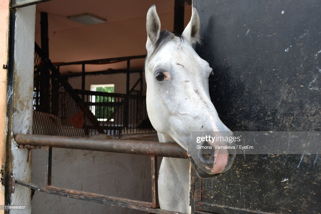 Closeup Of White Horse In Stable High Res Stock Photo Getty Images