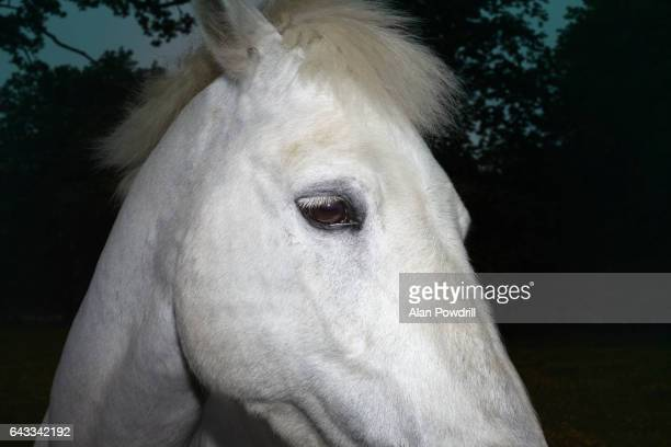 Close-up of White Horse's Head