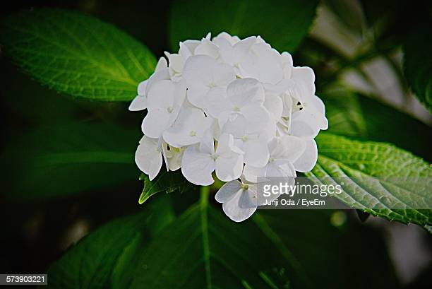 Close-Up Of White Hydrangea Blooming Outdoors