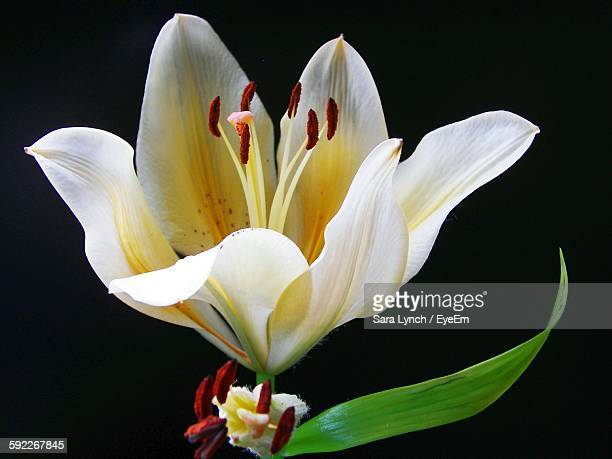Close-Up Of White Lily Against Black Background