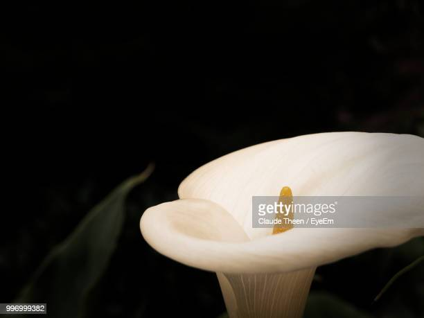 close-up of white lily against black background - calla lilies white stock pictures, royalty-free photos & images