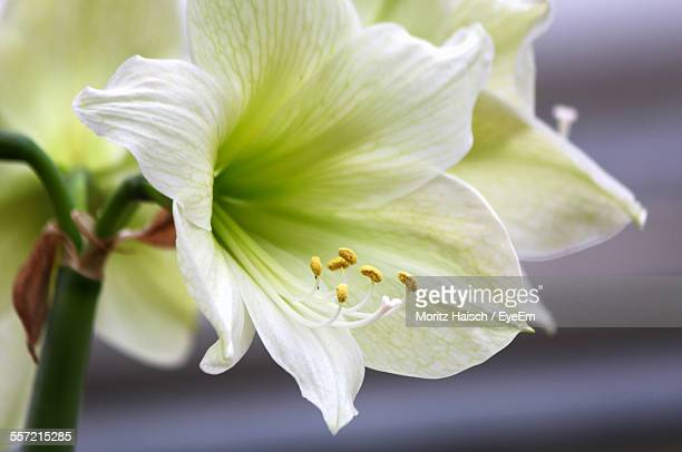 Close-Up Of White Lily Flowers
