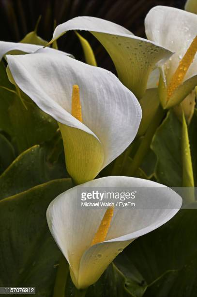 close-up of white lily plant - calla lilies white stock pictures, royalty-free photos & images