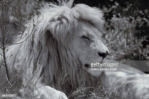 close-up of white lion - white lion stock photos and pictures