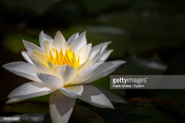 Close-Up Of White Lotus Blooming Outdoors