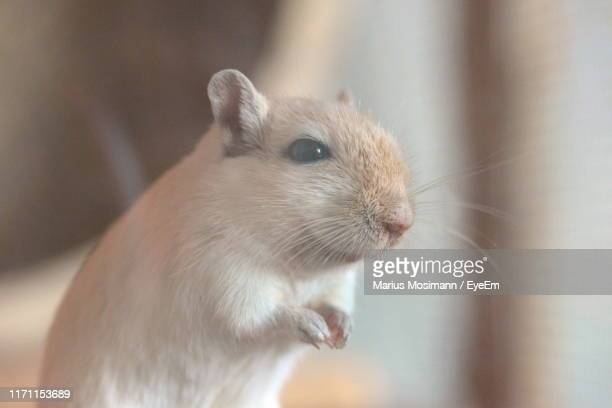 close-up of white mouse - animal whisker stock pictures, royalty-free photos & images