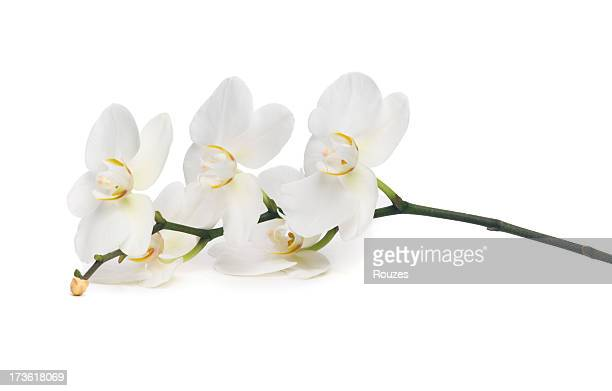 Close-up of white orchid on white background