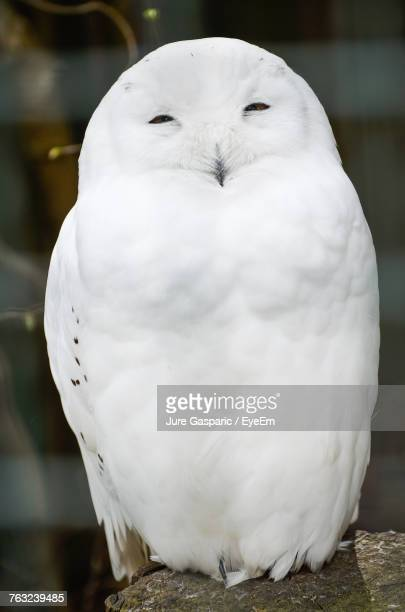 close-up of white owl - chouette blanche photos et images de collection
