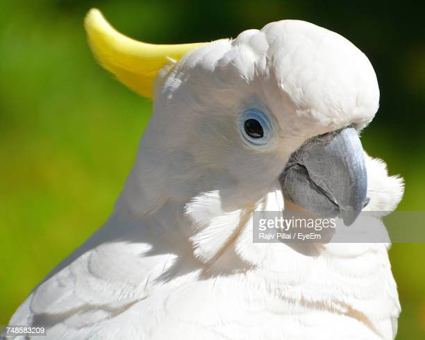 Close-Up Of White Parrot