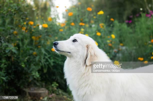 close-up of white purebred maremma sheepdog on field - pastore maremmano foto e immagini stock