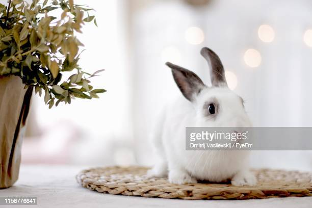 close-up of white rabbit - lagomorphs stock pictures, royalty-free photos & images