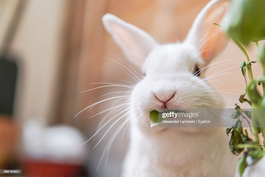 Close-Up Of White Rabbit With Leaf In Mouth At Home