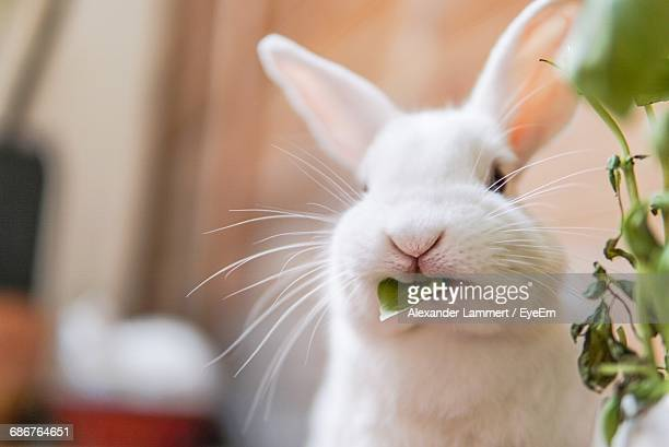 close-up of white rabbit with leaf in mouth at home - white rabbit stock pictures, royalty-free photos & images