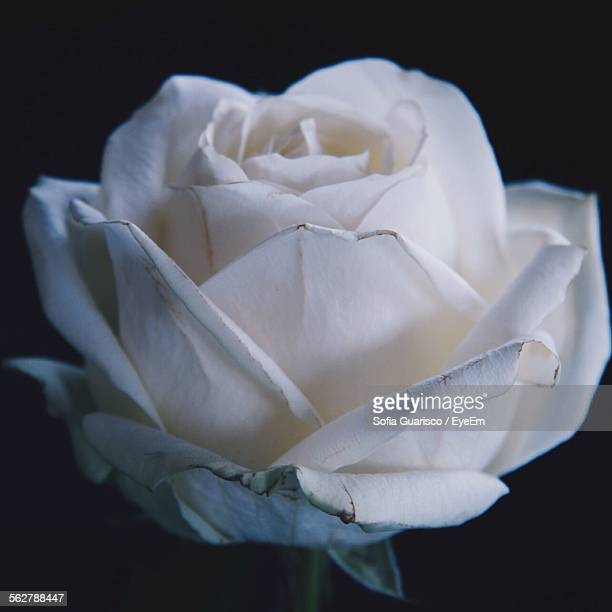 close-up of white rose against black background - sofia rose stock photos and pictures
