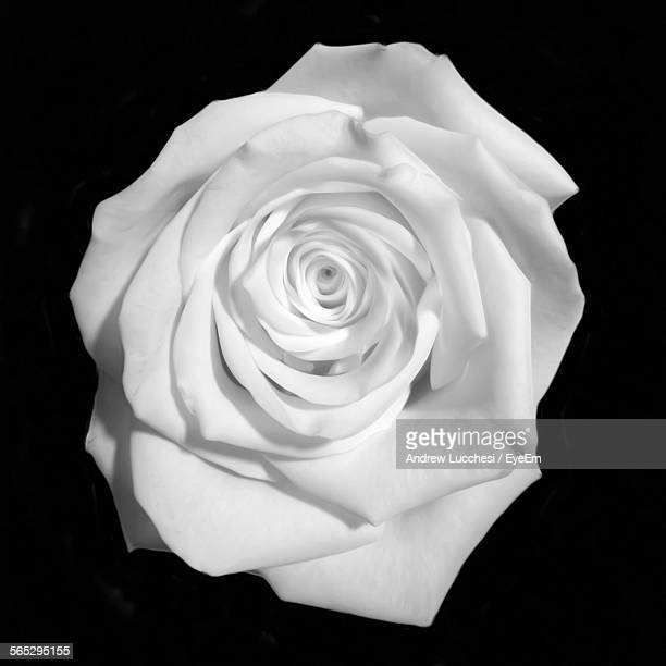 close-up of white rose against black background - black rose stock pictures, royalty-free photos & images