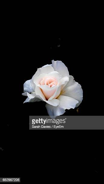 Close-Up Of White Rose Blooming Against Black Background