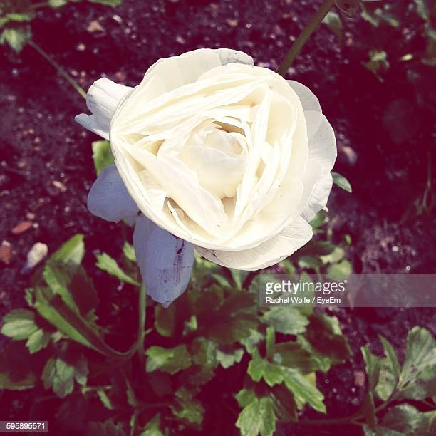close-up of white rose blooming outdoors - rachel wolfe stock pictures, royalty-free photos & images