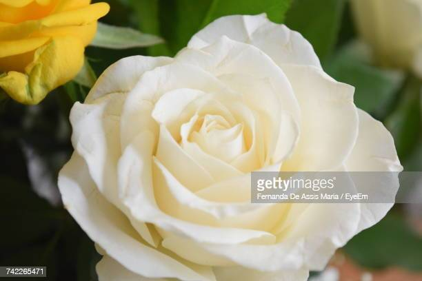 close-up of white rose blooming outdoors - assis ストックフォトと画像
