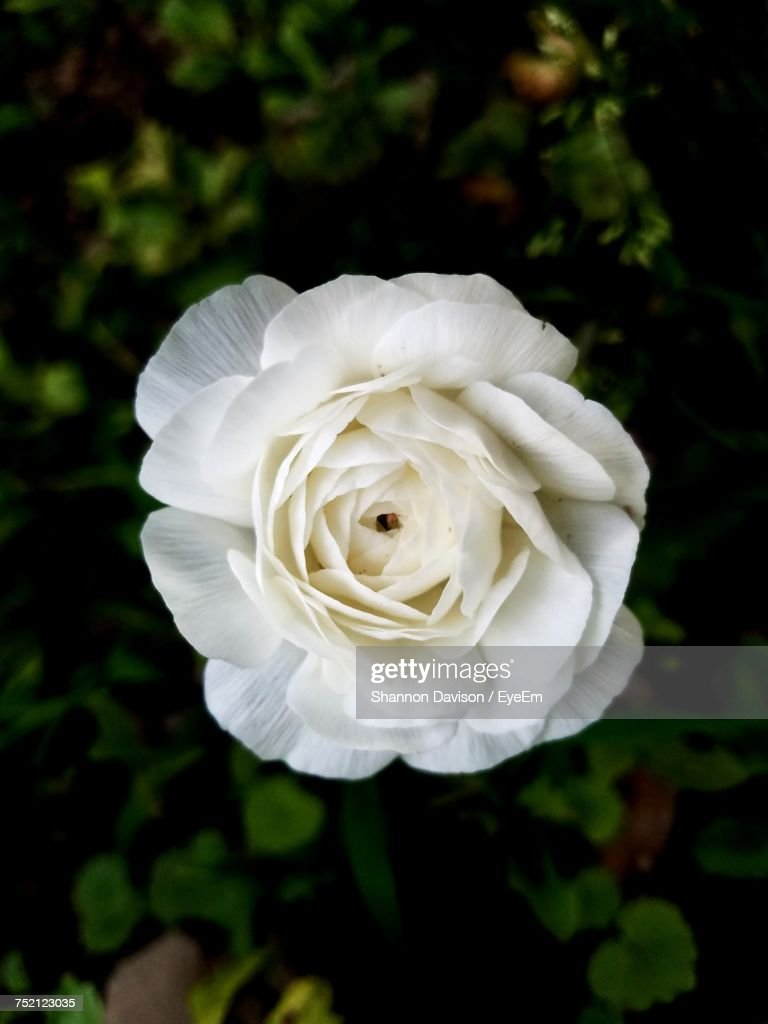 Close-Up Of White Rose Blooming Outdoors : Foto stock