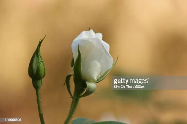 close-up of white rose bud - kim rose stock-fotos und bilder