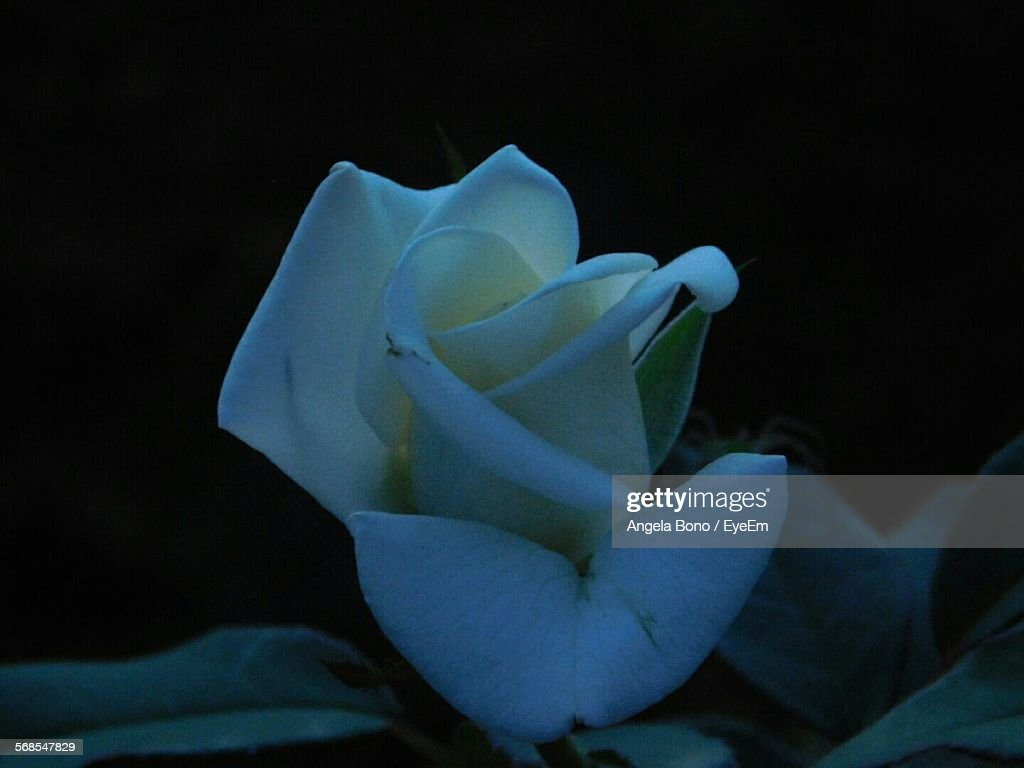 Close-Up Of White Rose Growing In Field : Stock Photo