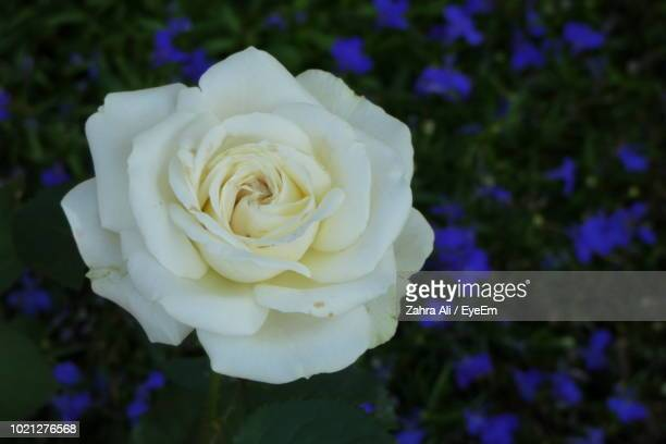 close-up of white rose - rosaceae stock photos and pictures