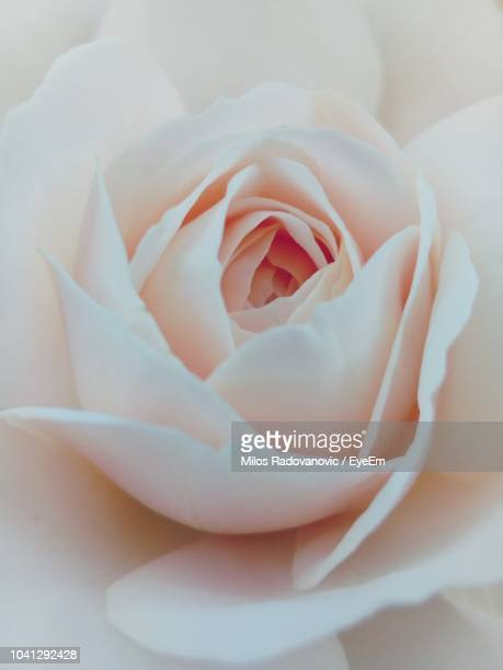 close-up of white rose - pale pink stock pictures, royalty-free photos & images